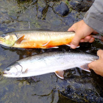 Unterschied Dolly Varden / Arctic Char