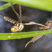 Schlupf einer Libelle - Metamorphose