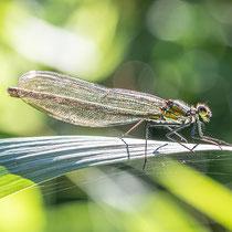 Gebänderte Prachtlibelle - Calopteryx splendens- Weibchen