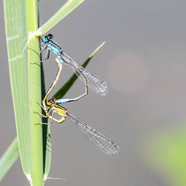 Gemeine Becherjungfer - Enallagma cyathigerum - Paarung