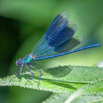 Blaugebänderte Prachtlibelle - Männchen