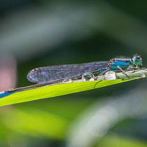 Große Pechlibelle - Ischnura elegans