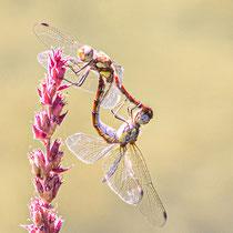 Große Heidelibelle – Sympetrum striolatum - Paarungsrad