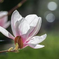 Magnolienblüte