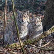 Luchse im Wildpark Feldkirch 2020