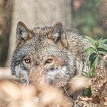 Wolf im Wildpark Feldkirch