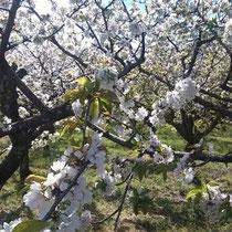 Kirschbäume im Tal El Valle del Jerte