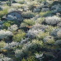 El Valle del Jerte, das Tal der Kirschen - hier stehen 2,5 Millionen Kirschbäume