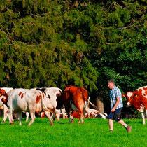 Bauernhof NRW - die Kühe treiben