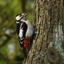 am 07. April hatte das Weibchen die wohl fertige Brutstätte besichtigt und wartete nun etwas höher im Baum
