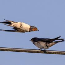 und schon fliegt ein Elternvogel zum nächsten Jungen