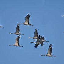 ein großer Trupp mit einem Jungvogel in ihrer Mitte