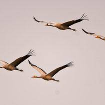 Zwei Elterntiere fliegen mit ihren Jungvögeln der Abendsonne entgegen