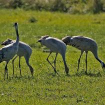 Eine Familie, die beiden Jungvögel - wie meistens - in der Mitte