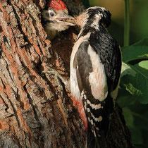 04. Juni - nachdem beide Eltern-Vögel lange die Jungen nach draußen gelockt haben - kommt Frau Specht doch noch mal zum Füttern