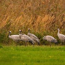 diese Gruppe ging entlang eines Feldes, in der Mitte ein älterer Jungvogel (schon mit Schleppe)