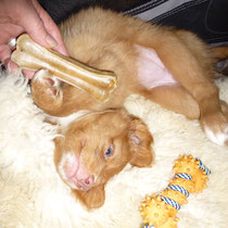 Nova Scotia Duck Tolling Retriever Welpe Nita