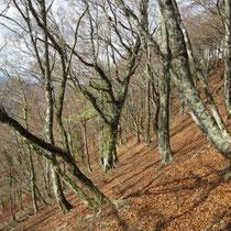 百里ケ岳手前のブナ林。ここはいいです。