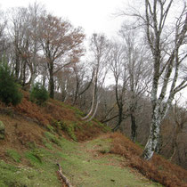 おにゅう峠付近の樹林。足元の枯れた茶色はもちろんイワヒメワラビ。