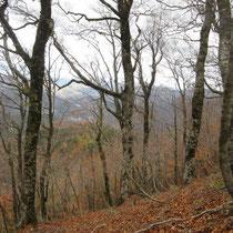 △803手前のブナ林。県境の福井側にはブナ林が多い