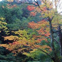 これから紅葉という木もある