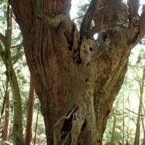 ここからが赤崎中尾根の芦生杉巨木群