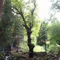 県指定保存木に接近