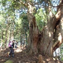またまた別の巨木です