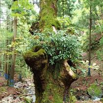 ヤドリギをまとって貫禄のある巨木です