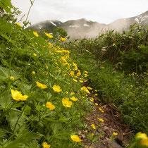 ミヤマキンポウゲ咲く登山道