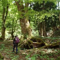 この沢には栃の木がたくさんありました