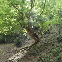 栃の大木は谷間に多く見られました