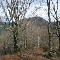 大きなブナの向こうに百里ケ岳。晩秋は落葉し見通しがききます。