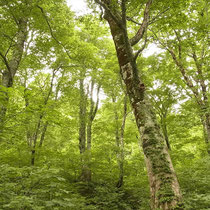 釈迦新道のブナの木々
