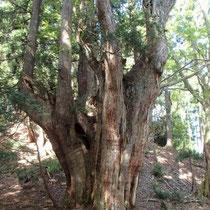 次々と現れる巨木です