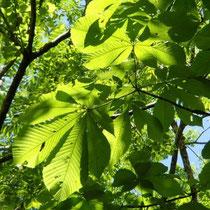 見上げると栃の木の若い葉が