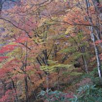 ブナ原生林の鮮やかな紅葉