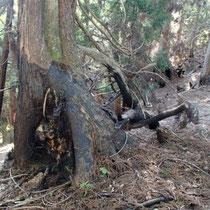小野村割岳付近は、山火事の跡が生々しい
