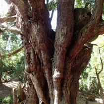 一番の圧巻はこの木です