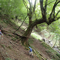 こんな急斜面に栃の巨木はよくあります