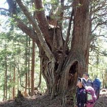 さらに大きな杉がお出迎え