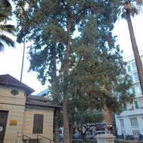 Pino canario (Pinus canariensis). Jardín del parterre