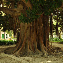 Troco de Higuera de Bahía Moreton (Ficus macrophylla). Jardín del Real