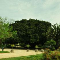 Higuera de Bahía Moreton (Ficus macrophylla). Jardín del Real