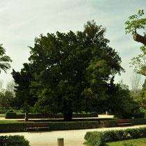 Arból kusamaki (Podocarpus macrophyllus). Jardín del Real