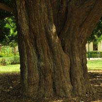 Tronco del Arból kusamaki (Podocarpus macrophyllus). Jardín del Real