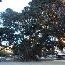 Higuera de Bahía Moreton (Ficus macrophylla). Jardín del parterre