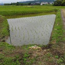 6月の田植え