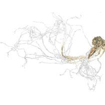 Ginsengwurzel II, 29,5 x 40,0 cm, Zeichnung, Aquarell