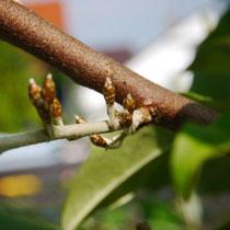 Elaeagnus (Sweet Scarlet) multiflora